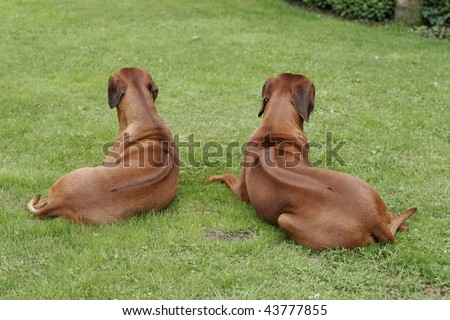 Two beautiful inactive Rhodesian ridgebacks from the backside showing there rigde on the back of his body - stock photo