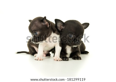 Two beautiful little Chihuahua puppy playing - stock photo