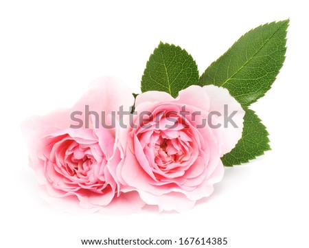 Two beautiful pink roses on a white background