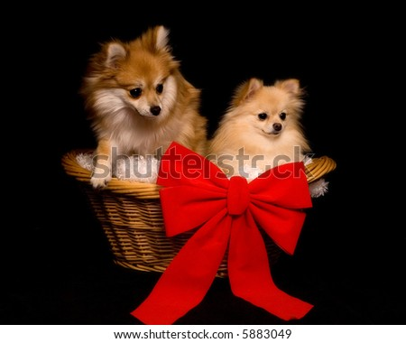 Two beautiful Pomeranian puppies in a wicker basket with a big red bow.