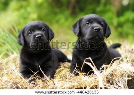 two beautiful purebred black puppy dog Labrador sitting in the summer on the nature in the straw - stock photo