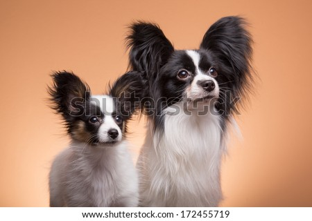 Two beautiful small papillon dogs with large black ears on pink background