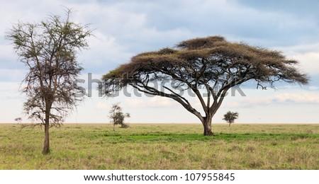 Two beautiful trees in Serengeti National Park, Tanzania - stock photo