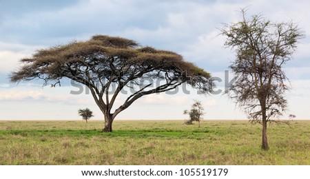Two beautiful trees in Serengeti National Park - Tanzania, Africa - stock photo