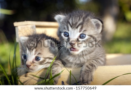 Two beautiful whiskers kitten wondering in a wooden box -outside picture- 2 weeks old cats
