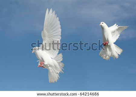 Two beautiful white doves in flight