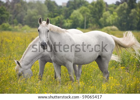 Two beautiful white horse grazing on a ranch