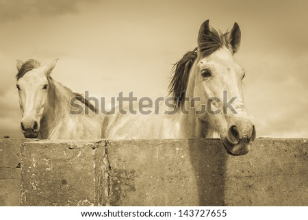 Two beautiful white horses in sepia tone - stock photo