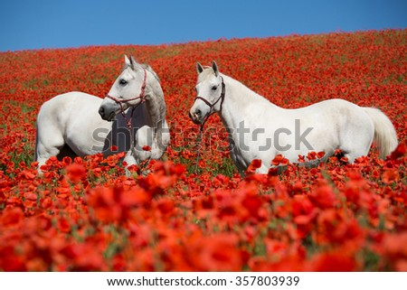 Two beautiful white horses posing in a red poppy field - stock photo