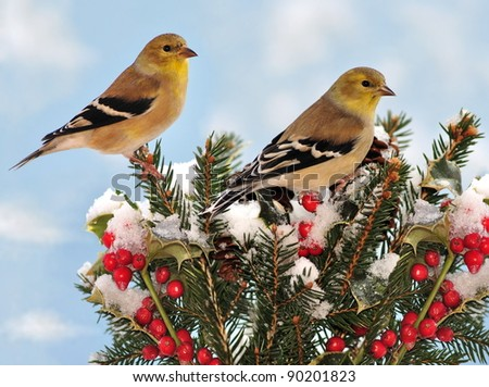 Two beautiful winter American Goldfinches (Carduelis tristis) on a festive spruce branch. - stock photo