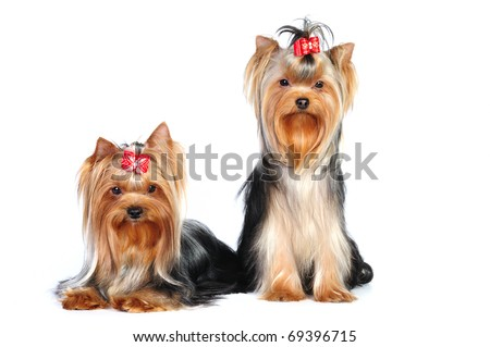 Two beautiful yorkrshire terriers together in studio in front of white background - stock photo