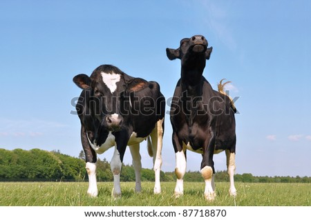 Two beautiful young curious cows in a meadow - stock photo