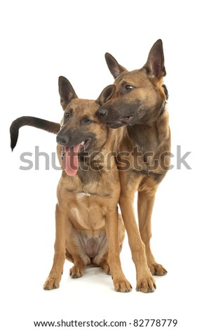 two Belgian Shepherd Dog (Malinois)puppies in front of a white background