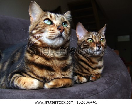 Two bengal cats sitting next to each other looking same way - stock photo