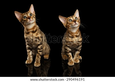 Two Bengal Kittys Looking in Camera on Black Background  - stock photo