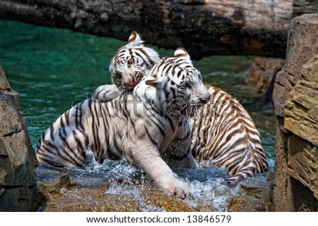 Two Bengal Tigers Playing - stock photo