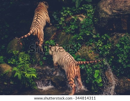 Two Bengal Tigers Playing deep in a jungle - stock photo