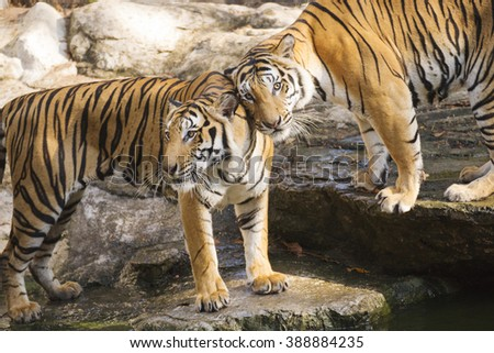 Two bengal tigers resting near the pond - stock photo