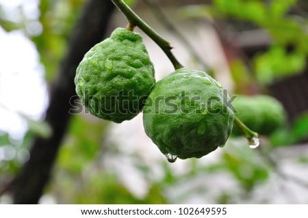 Two bergamot fruits - stock photo