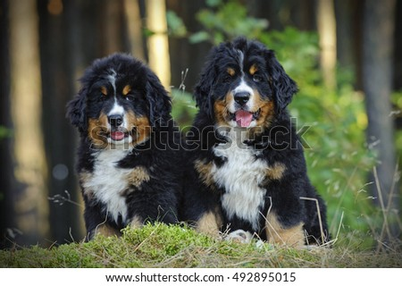 Two Bernese Mountain Dog puppies in forest