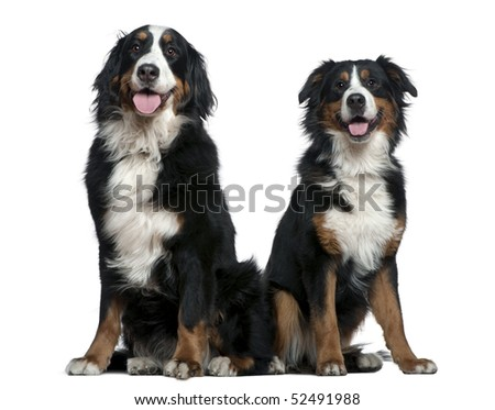 Two Bernese mountain dogs, 14 months and 6 years old, sitting in front of white background - stock photo