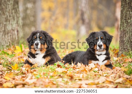 Two bernese mountain puppies lying on the leaves in autumn - stock photo