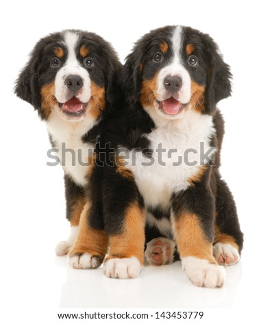 Two bernese sennenhund puppies on a white background - stock photo