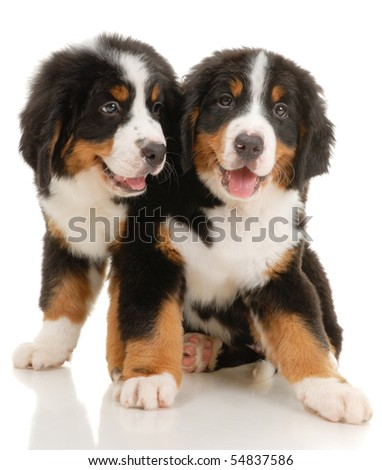 Two bernese sennenhund puppies on a white background