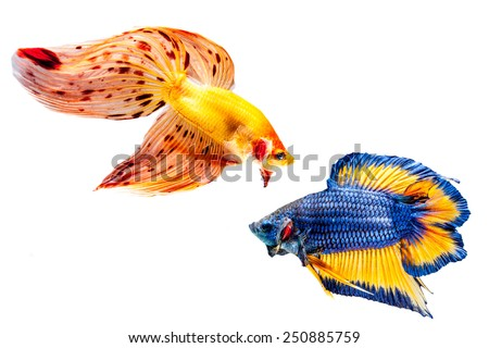 Two betta fish on the white background.  - stock photo