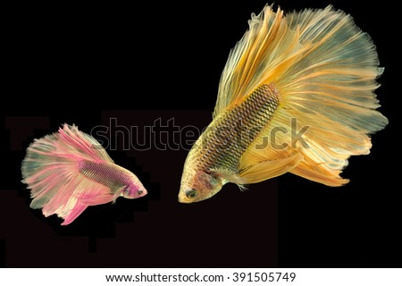 Two Betta fish, siamese fighting fish, betta splendens isolated on black background - stock photo