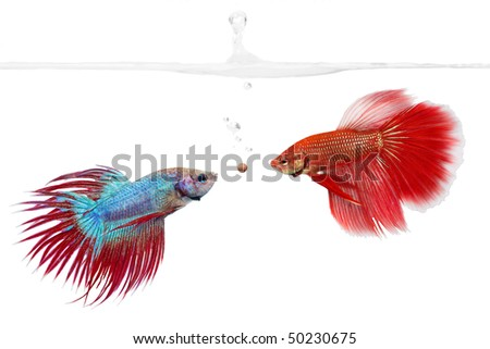 Two betta fishes competing for a food pellet - stock photo