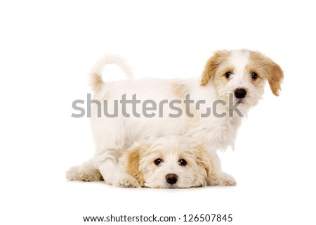 Two Bichon Frise cross puppies isolated on a white background - stock photo