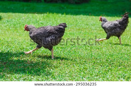 Two big chicken on green grass. Sunny summer day. - stock photo