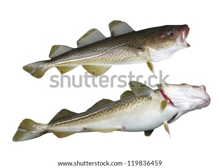 two  big cod fish on a white background - stock photo