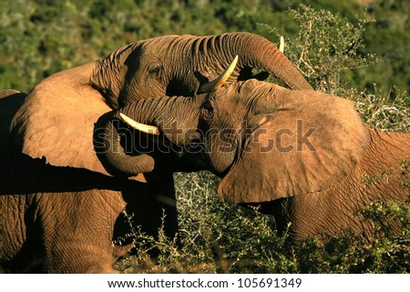 Two big elephant bulls fight,battle and trunk wrestle for dominance in Addo elephant national park,eastern cape,south africa - stock photo