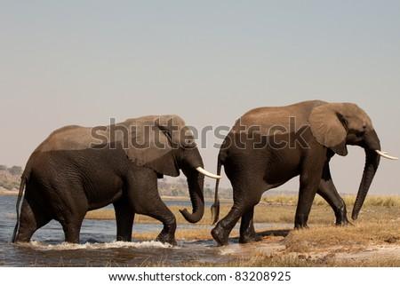 Two big elephants male - stock photo