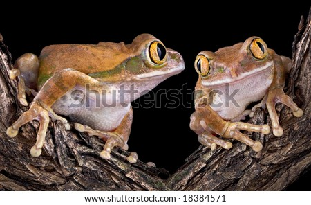 Two big-eyed tree frogs are on a branch. One is looking longingly at the other. - stock photo
