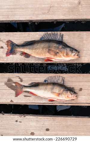 Two big fish (Perch) freshly caught on the wooden board of a pier. - stock photo