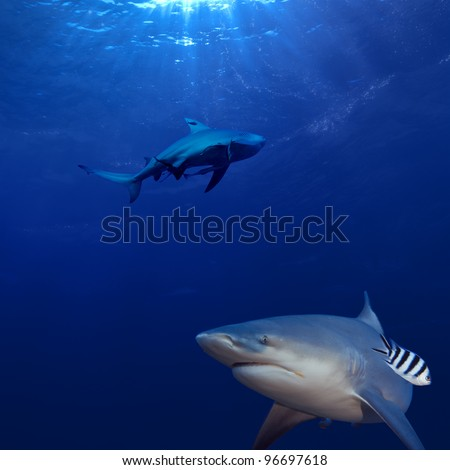 two big hungry sharks hunting underwater in deep blue Pacific ocean