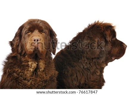 Two big newfoundland dogs in studio on white background - stock photo