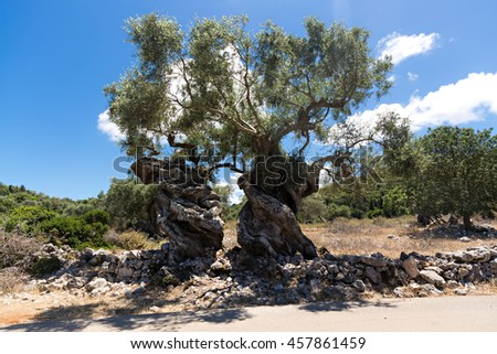 two big old olive trees with twisted trunks