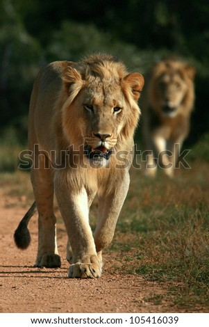 Two big sub adult male lions approach,walking straight towards the camera,in this beautiful low angle profile portrait taken in Addo Elephant national park,eastern cape,south africa - stock photo