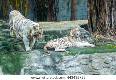 Two big tiger wooing, courting each other in morning, they very happy together herd behavior of live animals - stock photo
