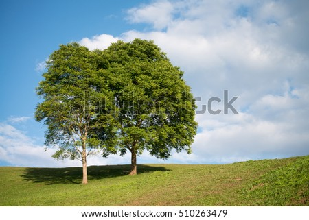 Two big trees growing on small hill with green grass and blue sky. Nature background with big trees green grass and blue sky.