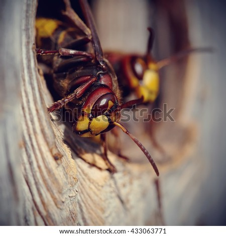 Two big wasps - hornets about an entrance to a nest. - stock photo