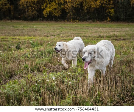 Two big white dogs are walking outdoor. Tatra Shepherd Dog.
