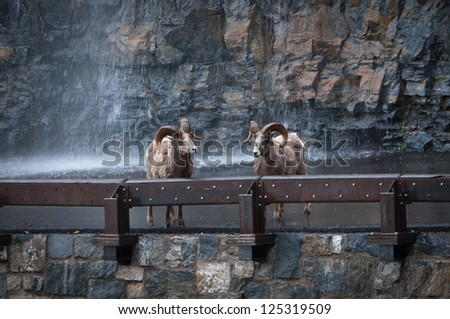 Two bighorns on highway at Glacier National Park - stock photo
