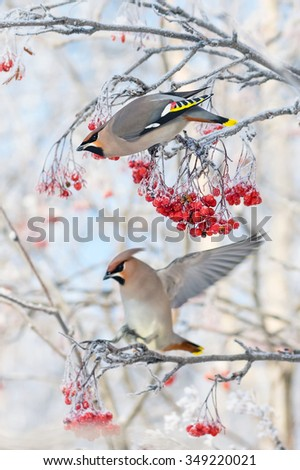 Two bird waxwings sitting on  branch of  mountain ash in the frost - stock photo