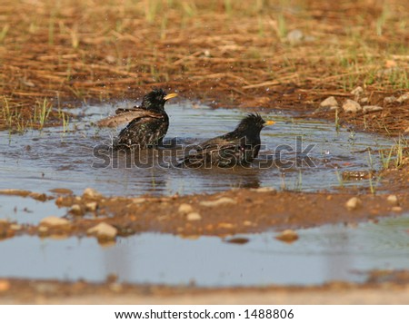 Two birds in a puddle - stock photo