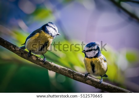 Two birds perched on a branch: Blue Tit - Cyanistes caeruleus